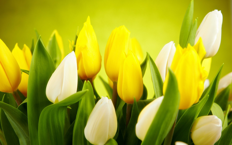 Bright Yellow Tulip Wallpaper