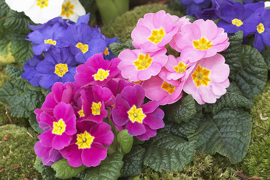 Primrose Pretty Flowers Pictures