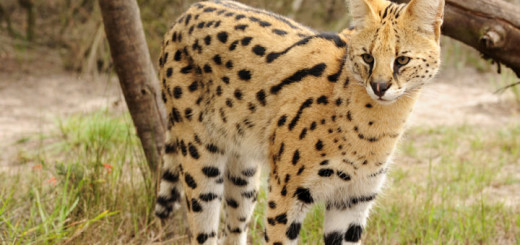 Savannah Cat Pictures