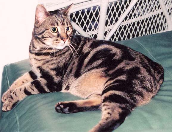 Bengal Cat Mix Tabby Pictures