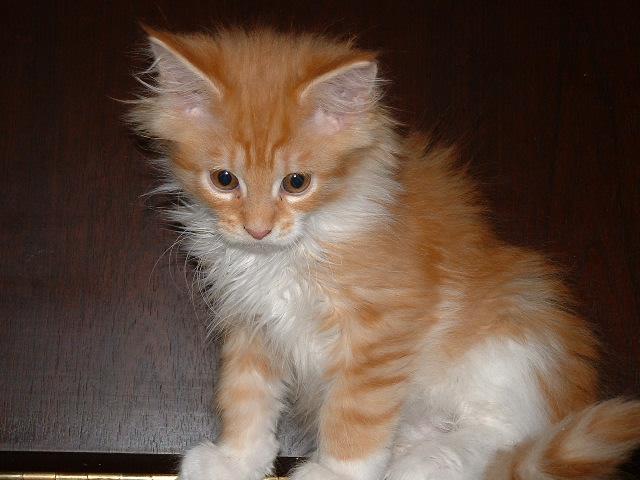 Little Orange Maine Kitten
