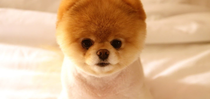 Pomeranian Dog Pictures