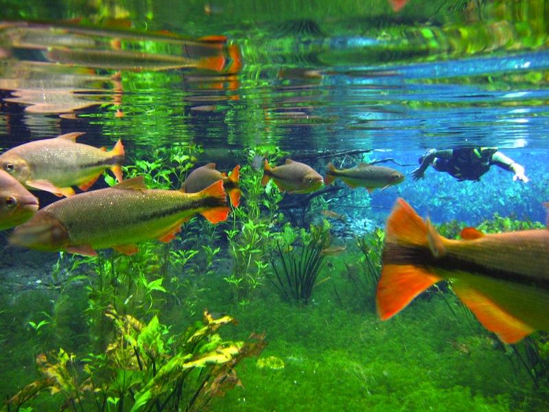 Pantanal Wildlife Fish Underwater