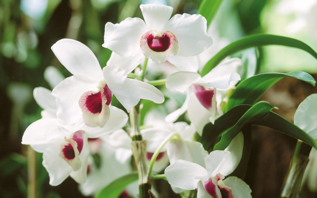 White-Orchid-Flower-Pictures.jpg