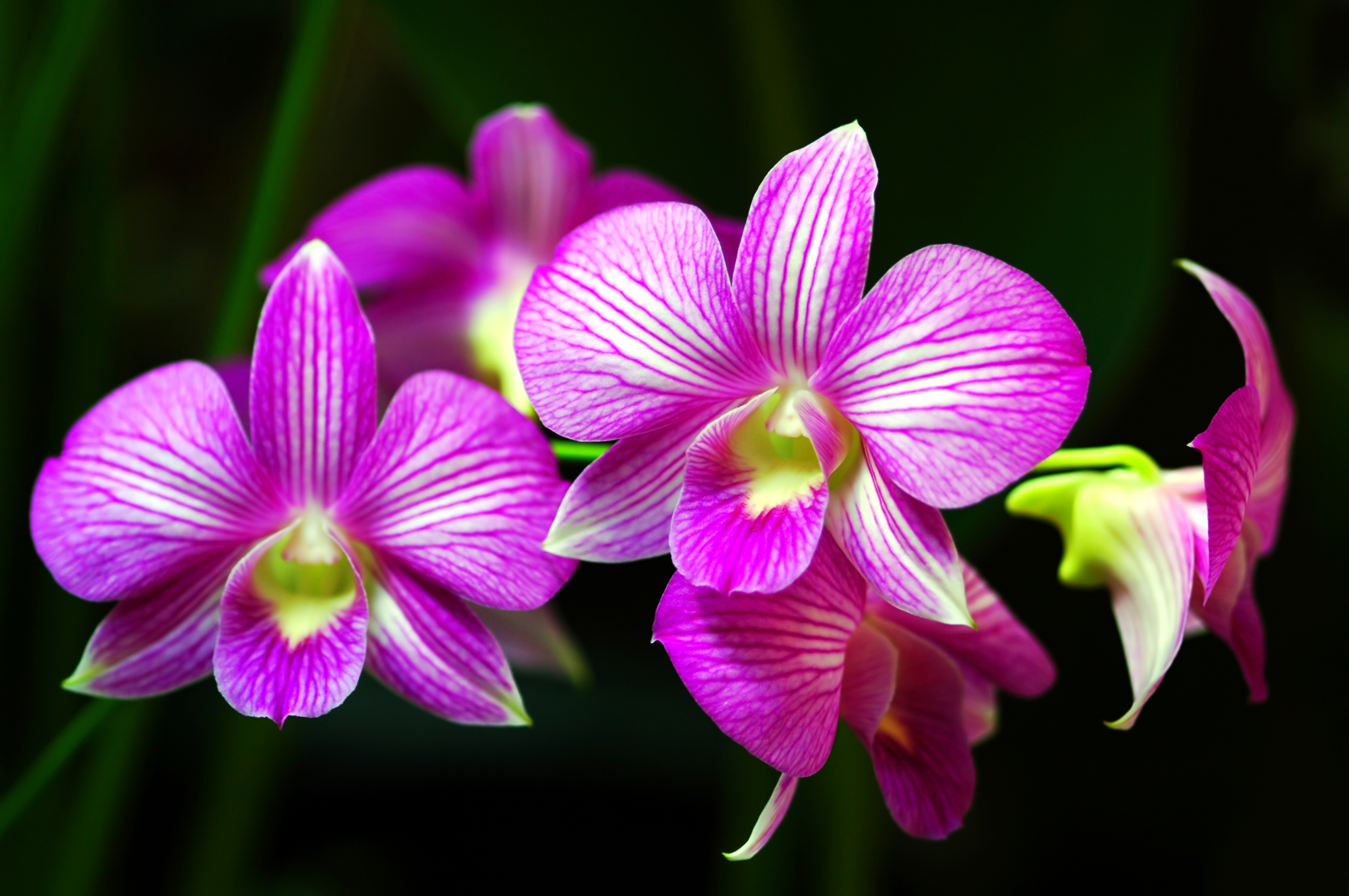 how to care for orchids flower  inspirationseek, Beautiful flower